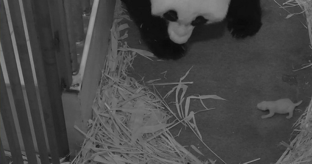 This handout photo provided by the Smithsonian's National Zoo, taken Aug. 29, 2013, shows the zoo's Panda mother Mei Xiang with her cub at the zoo in Washington. The zoo said Thursday its 2-week-o ...