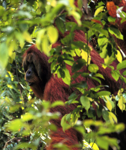 This photo provided by Carel van Schaik shows the orangutan Arno in the jungle of Sumatra in 1998 looking in the direction he intends to travel the next day and letting out a long whooping call to ...
