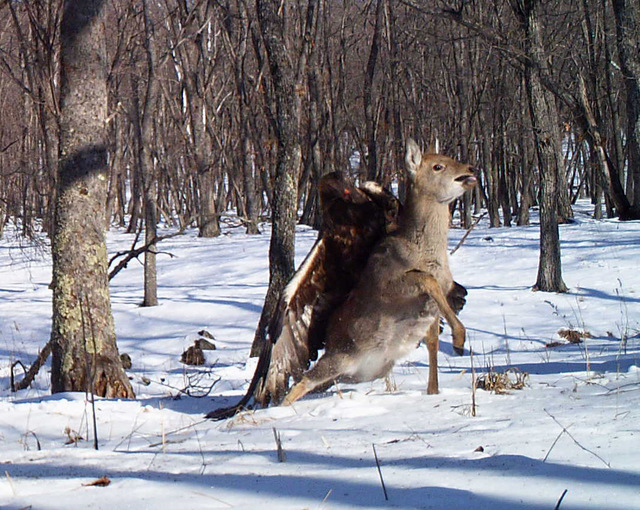 In this photo taken from a remote camera at the Lazovsky State Nature Reserve in the Primorye region of Russias Far East on Dec. 8, 2011, a golden eagle attacks a deer. It's rare for a camera to c ...