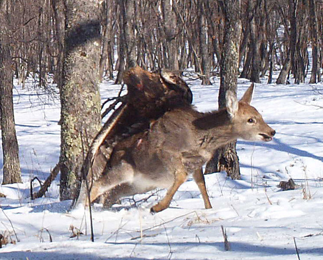In this photo taken from a remote camera at the Lazovsky State Nature Reserve in the Primorye region of Russia's Far East on Dec. 8, 2011, a golden eagle attacks a deer, snapping three photos as t ...