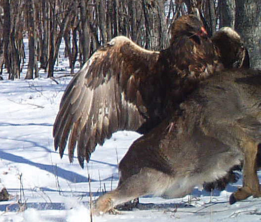 a golden eagle attacks a deer at the Lazovsky State Nature Reserve in the Primorye region of Russias Far East on Dec. 8, 2011. Remote cameras set up to track Siberian tigers in Russia caught the a ...