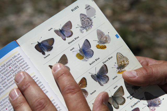 Corey Kallstrom of the U.S. Fish and Wildlife Service holds up a butterfly identification book while on a run at the Las Vegas Ski and Snowboard Resort on Mount Charleston outside of Las Vegas Jul ...