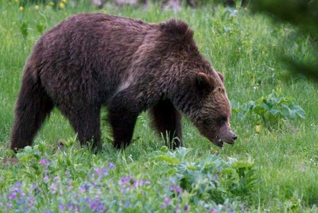 A grizzly bear is shown in this undated file photo taken in Yellowstone National Park. (The Associated Press)