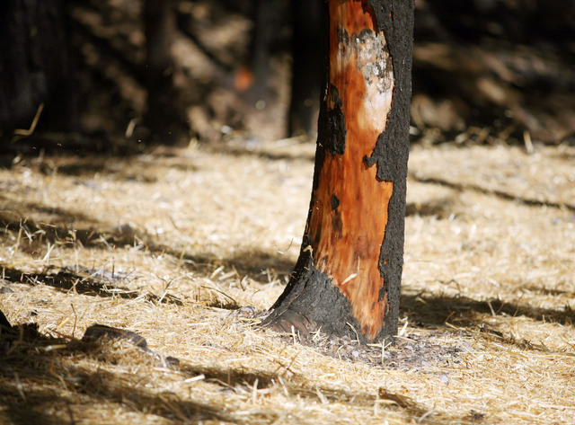 Staw blows in the wind and covers the ground near a charred White Fir tree in a unit of burned forest edging the Rainbow Subdivision on Mount Charleston near Las Vegas Wednesday, Sept. 25, 2013.   ...