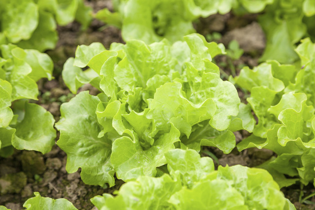 fresh lettuce in the garden