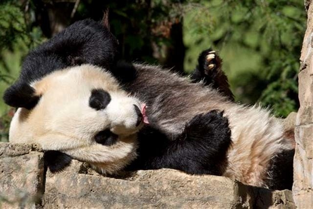 Jacquelyn Martin/The Associated Press Mei Xiang, a giant female panda, rests at the National Zoo in Washington.