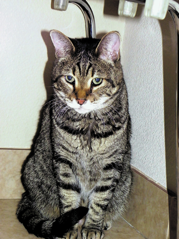 Eddie Paws 4 Love I am Eddie, a male tabby, about 10 years old. I know I am middle-aged, but I am healthy, strong and very social. I lost my mom, and I really am sad. I need a new one — would th ...
