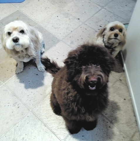 """Jackie Glass said, """"These are our three boys. Charlie is 6 months old and is the brown labradoodle. Magic, on his left, and Sunday are his big brothers. They are cockapoos. They love living in S ..."""
