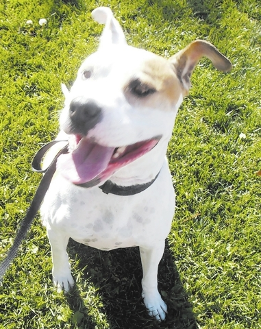 Rocko Animal Network Rocko is a Staffordshire terrier mix who loves people and pooches. He's 7 to 8 years old but makes an excellent jogging partner and loves to play fetch. Rocko is fixed, vacc ...