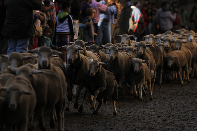 People watch as shepherds, unseen, lead their sheep through the centre of Madrid, Spain, Sunday, Oct. 6, 2013. Spanish shepherds led flocks of sheep through the streets of downtown Madrid in defen ...