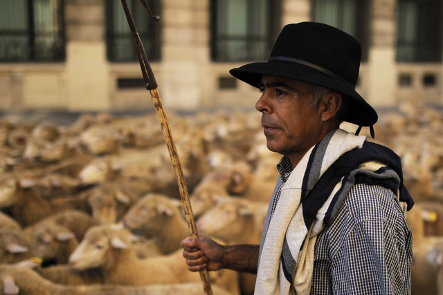 A shepherd leads his sheep through the centre of Madrid, Spain, Sunday, Oct. 6, 2013. Spanish shepherds led flocks of sheep through the streets of downtown Madrid in defense of ancient grazing, mi ...