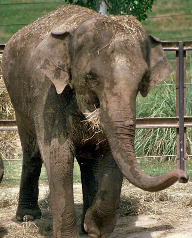 File-This is a 1998 file photo of Patience, an elephant  in the Dickerson Park Zoo, Springfield Mo., Patience became aggressive in one of the buildings Friday Oct. 11, 2013, and killed senior zook ...