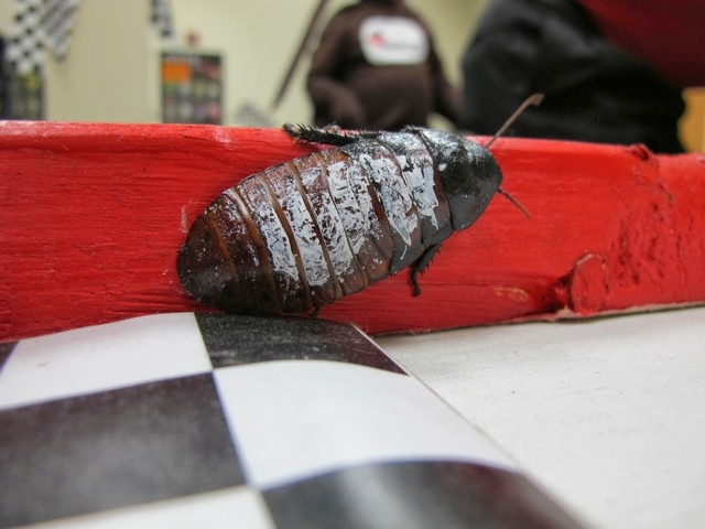 A roach walks around the racetrack on Thursday, Oct. 10, 2013, at the New Berlin, Wis., headquarters of Batzner Pest Management. The company puts on roach races every year as part of their custome ...
