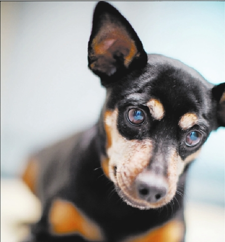 Doll The Animal Foundation My name is Doll (I.D. No. A741037), and I'm a 7-year-old spayed female miniature pinscher mix. I love cuddling on laps and play time. My previous owners couldn't kee ...