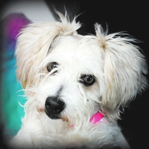 Sue The Animal Foundation I'm Sue (I.D. No. A741618), a 4-year-old spayed female Lhasa apso mix. I'm a sweet girl who loves a good belly rub. I'd really like to find a forever home with a fa ...