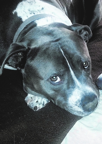 Rex Animal Network Rex is a healthy, happy, friendly and calm 2-year-old Blue Nose mix looking for a forever home. He's a very mellow boy who's good with kids and other dogs, house-trained wit ...