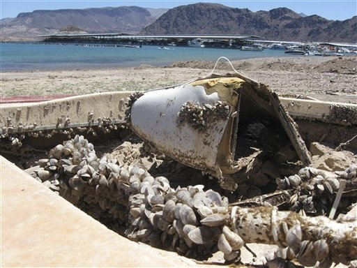 In this July 6, 2009 file photo, invasive quagga mussels cover this formerly sunken boat in Lake Mead National Recreation Area, Nev. (AP Photo/Felicia Fonseca, File)