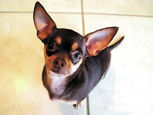 Chihuahua New mascot in El Paso