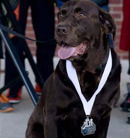 Boogie received a medal for his participation Saturday's, Oct. 5, 2013 Evansville Half Marathon Monday, Oct. 7, 2013. Boogie, an 8-year-old chocolate Labrador owned by Jerry Butts of Evansville, i ...