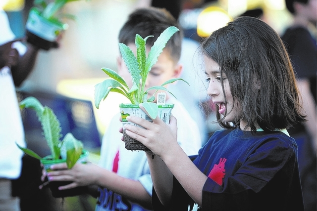 Six-year-old Dennisse Gonzalez checks out an artichoke plant to be planted at a new garden at the Boys & Girls Club Donald W. Reynolds Clubhouse in Henderson Monday, Sep. 30, 2013. The new childre ...