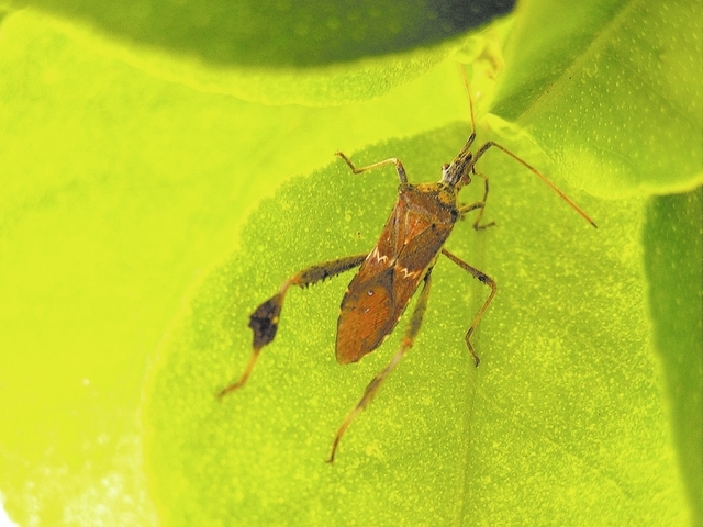 Leaffooted plant bug, not fully mature.
