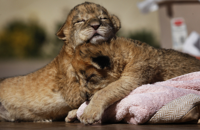 4 days old lion cubs hang out together at the Lion Habitat Ranch in Henderson on Oct. 15, 2013. (Jason Bean/Las Vegas Review-Journal)