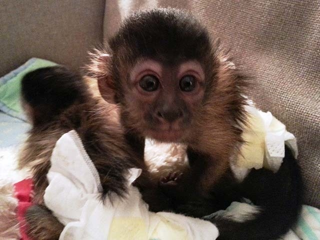 This monkey was stolen by a man who pepper-sprayed a woman who traveled to Colorado to sell the animal to him. (Courtesy GRAND JUNCTION POLICE DEPARTMENT)