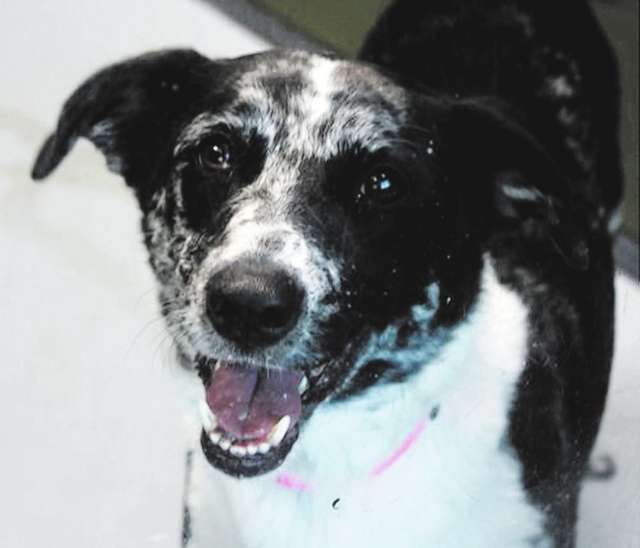 Sydney The Animal Foundation My name is Sydney (I.D. No. A472390), and I'm a 3-year-old spayed female Australian cattle dog mix. I'm a sweet, active girl, and I'm very smart. I love having m ...