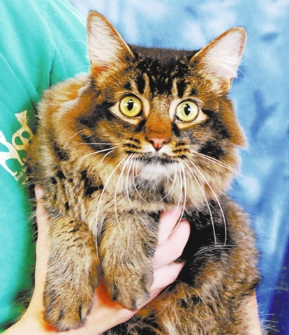 Macchu Picchu Nevada SPCA Being named for a sacred valley fits my captivating and enchanting personality. My name is Macchu Picchu, and I am a young ticked tabby with leonine beauty, about 1 year  ...
