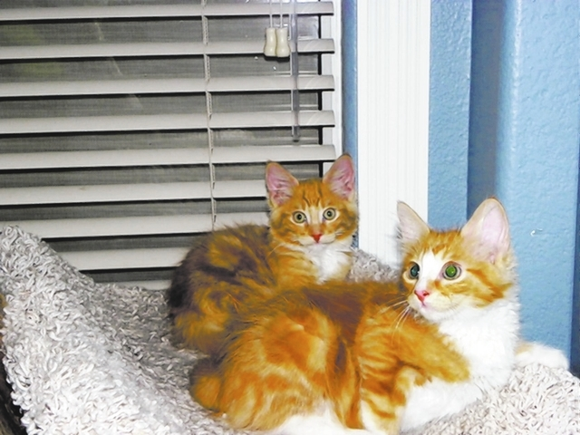 Asher & Dodger Paws 4 Love Asher and Dodger are 3-month-old male ginger tabbies. These little brothers are looking for their new home/family. They love to play, and eating is their favorite pastim ...