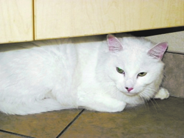 Casper Paws 4 Love Casper is a male 10-year-old domestic shorthair. This handsome guy was left with five other cats to look for a new home. We have made sure they are all very healthy and ready fo ...