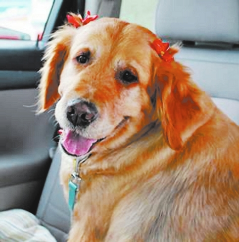 Daisy Golden Retriever Rescue of Southern Nevada My name is Daisy. I'm 6 years old, and I can't see. But you can see how sweet I am. I can do everything a sighted dog can do, but I rely on hum ...