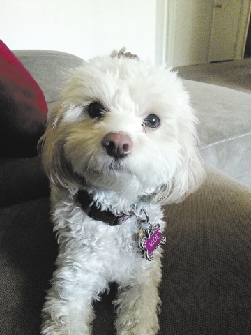 "North Las Vegas resident Suzanne Wilson said, ""This is my 2-year-old Maltipoo, Jade. She is such a sweet girl. She loves to play with her squeaky toys and chase her tail in circles. I have had h ..."