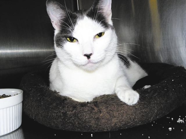 Keeley Paws 4 Love Keeley is a 4-year-old female gray and white domestic shorthair. This beautiful girl went from shelter to a home and back to the streets, begging to be let in. She is looking fo ...