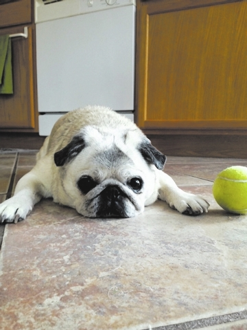 """Summerlin resident Alan Snel said, """"Pugsy Snel enjoys hanging out with her ball. Pugsy is a 14-year-old pug who has become a Facebook celebrity. Pugsy moved from Tampa in May."""""""