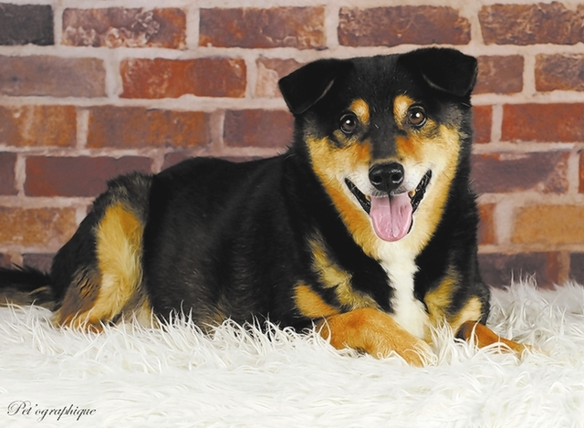 Charles Nevada SPCA Doggie massages, playing ball and my positive attitude help keep me young at heart. My name is Charles, and I am a baby-faced Shiba Inu mix, a jolly boy, 10 years of age and ne ...