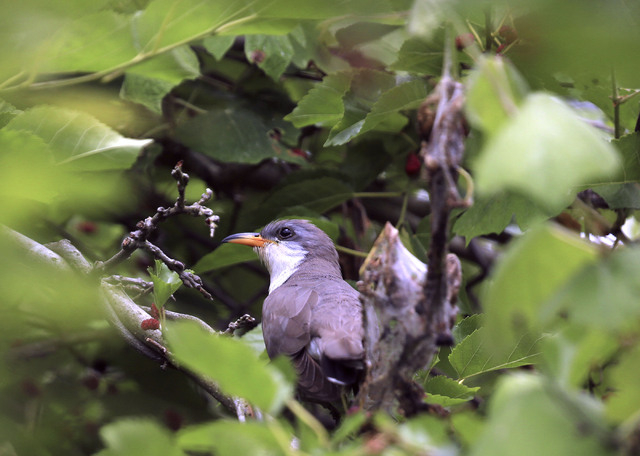 """The yellow-billed cuckoo, often called the """"rain crow"""" for its habit of singing right before storms, breeds in streamside gallery forests of cottonwood and willow that once thrived along nearl ..."""