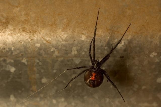 A Black Widow spider. (THINKSTOCK)