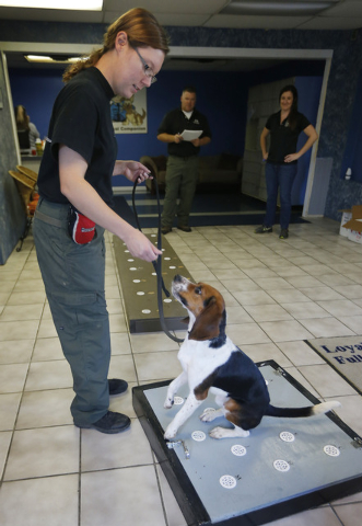 Amy Grandgenett handles Elvis, a 2-year-old beagle, while sniffing polar bear protein samples at Iron Heart Performance Dog Center in Shawnee, Kan., Monday, Oct. 28, 2013. Elvis is demonstrating 9 ...