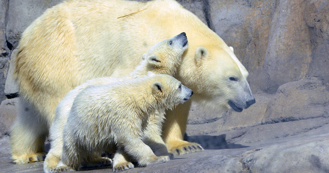 FILE - In this undated file photo provided by The Toledo Zoo, baby polar bear cubs Suka and Sakari, born in November, 2012, are seen at the zoo in Toledo, Ohio. The Toledo Zoo produced two of the  ...