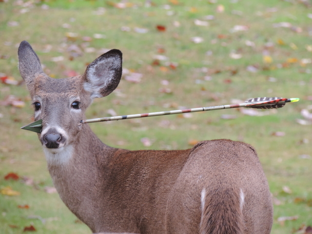 In an undated photo provided by the New Jersey Department of Environmental Protection, a young male deer stands with a hunter's arrow through it's head, in New Jersey. On Saturday, Nov. 9, 2013, N ...