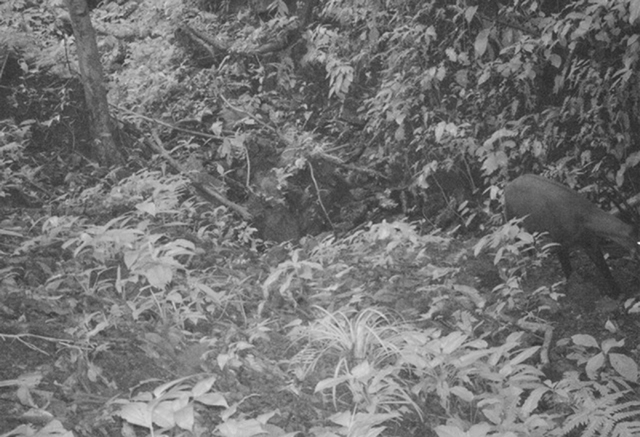This Sept. 7 photo released by WWF shows the saola in a forest in Vietnam. The saola, a long-horned ox, one of the rarest and most threatened mammals on earth, has been caught on camera in Vietnam ...