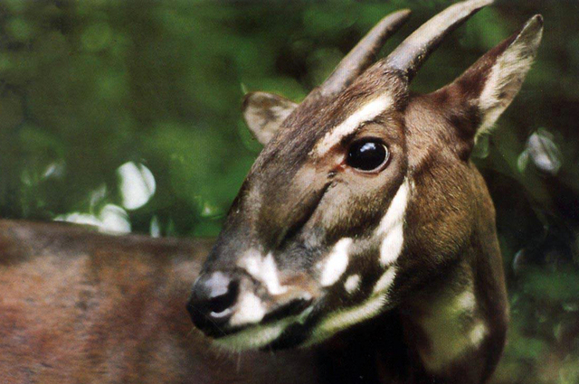 This saola was one of two saolas captured alive in 1993 in central Vietnam, but both died months later in captivity. A saola, one of the rarest and most threatened mammals on earth, was caught on  ...