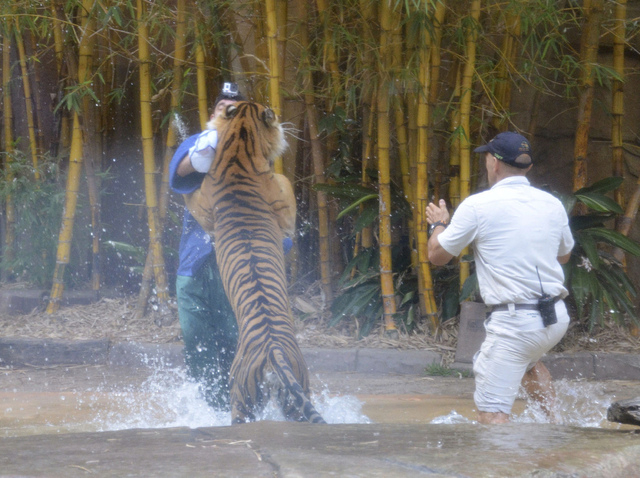A Sumatran tiger leaps on Australia Zoo handler Dave Styles, left, Tuesday as an unidentified man comes to Styles' aid in an enclosure at the zoo at Sunshine Coast, Australia. (AP Photo/Johanna Sc ...