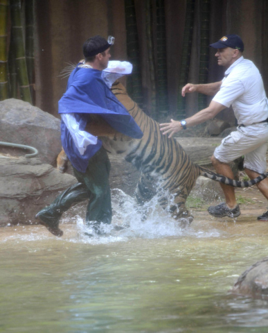 A Sumatran tiger leaps on Australia Zoo handler Dave Styles, left, on Tuesday in an enclosure at the zoo at Sunshine Coast, Australia. Styles suffered puncture wounds to his head and shoulder and  ...