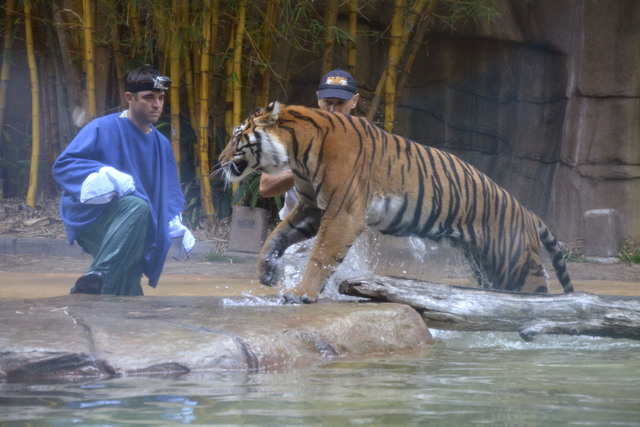 A Sumatran tiger approaches to Australia Zoo handler Dave Styles, left, on Tuesday before leaping on him in an enclosure at the zoo in Sunshine Coast, Australia. Styles who suffered puncture wound ...