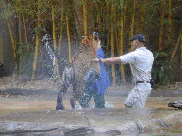 A Sumatran tiger leaps on Australia Zoo handler Dave Styles, left, Tuesday as an unidentified man comes to Styles' aid in an enclosure at the zoo at Sunshine Coast, Australia. Styles, who suffered ...