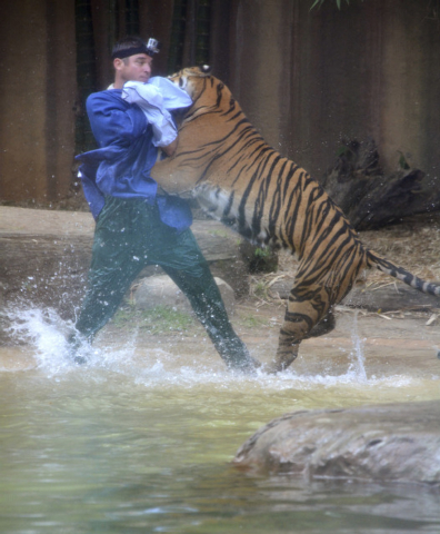 A Sumatran tiger leaps on Australia Zoo handler Dave Styles in an enclosure at a zoo in Sunshine Coast, Australia. Styles suffered puncture wounds to his head and shoulder. (AP Photo/Johanna Schehl)