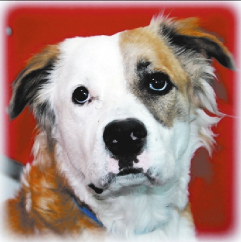 Jake The Animal Foundation My name is Jake (I.D. No. A687638), and I'm a 2-year-old neutered male St. Bernard/collie mix. I'm a big bundle of furry love. I'm a very active pup and am hoping  ...