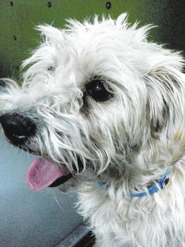 Pongo The Animal Foundation My name is Pongo (I.D. No. A745512), and I'm a 4-year-old neutered male cairn terrier. Don't let my size fool you. I'm very active and can keep up with two- and f ...